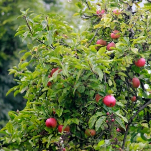 ApplesSouthfields1Oct2013_3640-web2