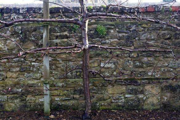 Jardin_Dursley_espalier_MG_0515-web