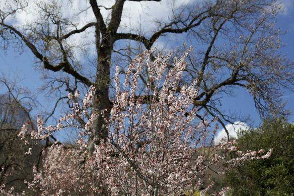 Prunus2_MG_0600