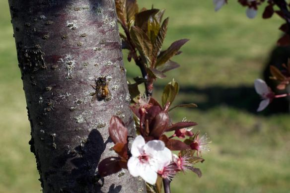 Wild_Bee_11Apr2015_MG_0662