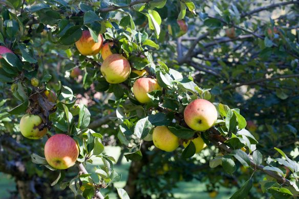30Sep_Apple_Harvest_MG_3592