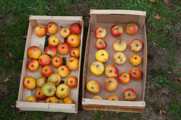 30Sep_Apple_Harvest_MG_3894