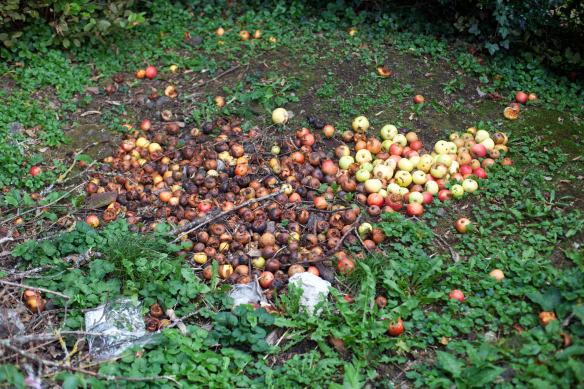 30Sep_Apple_Harvest_MG_3896