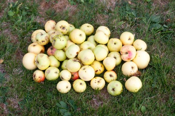 30Sep_Apple_Harvest_MG_3897
