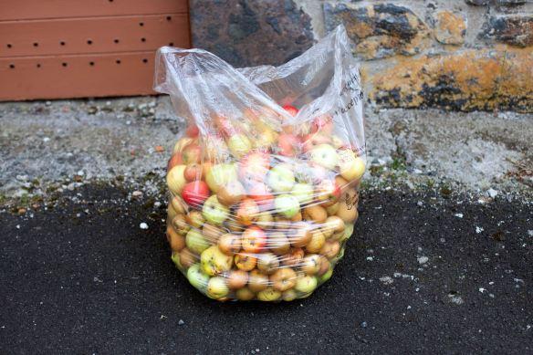 30Sep_Apple_Harvest_MG_3901