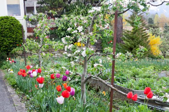 TulipsAndEspaliers_MG_6205