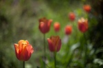 Tulips2_MG_6535