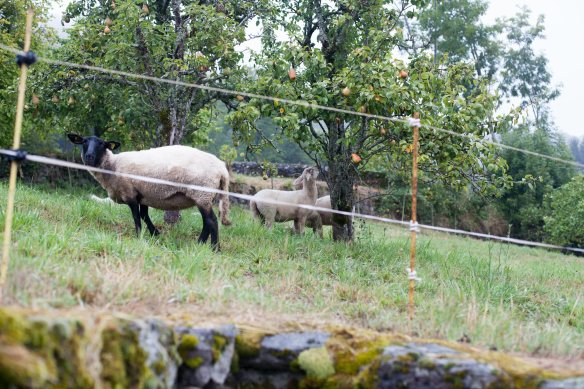 sheep_pears_mg_0206