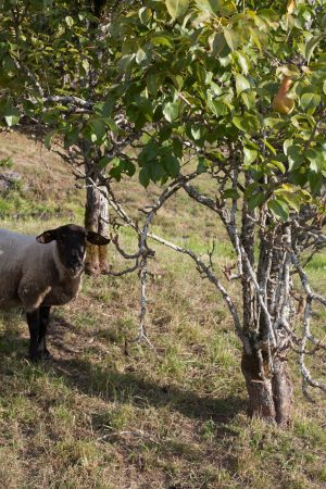 sheep_pears_mg_0307