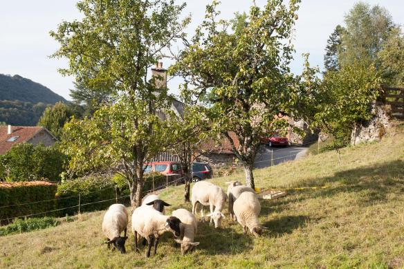 sheep_pears_mg_0311