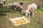 sheep_pears_mg_0330
