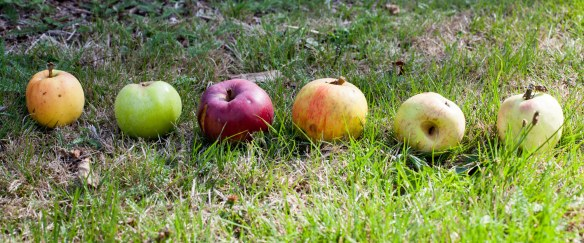apple_windfalls_mg_0644
