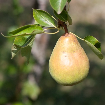 pear1_mg_9673