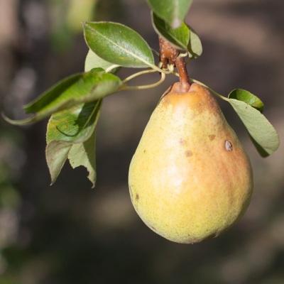 pear1_mg_9882