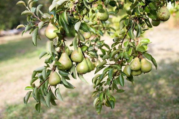pear_tree_mg_9528