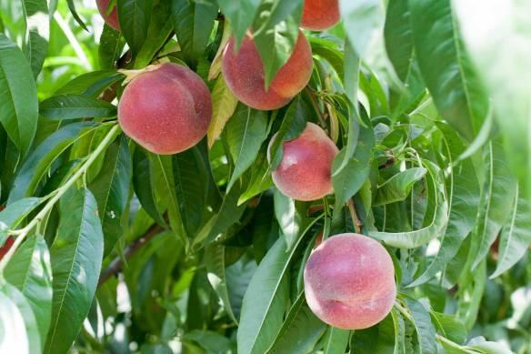Peaches in Gilbert's Provençal garden