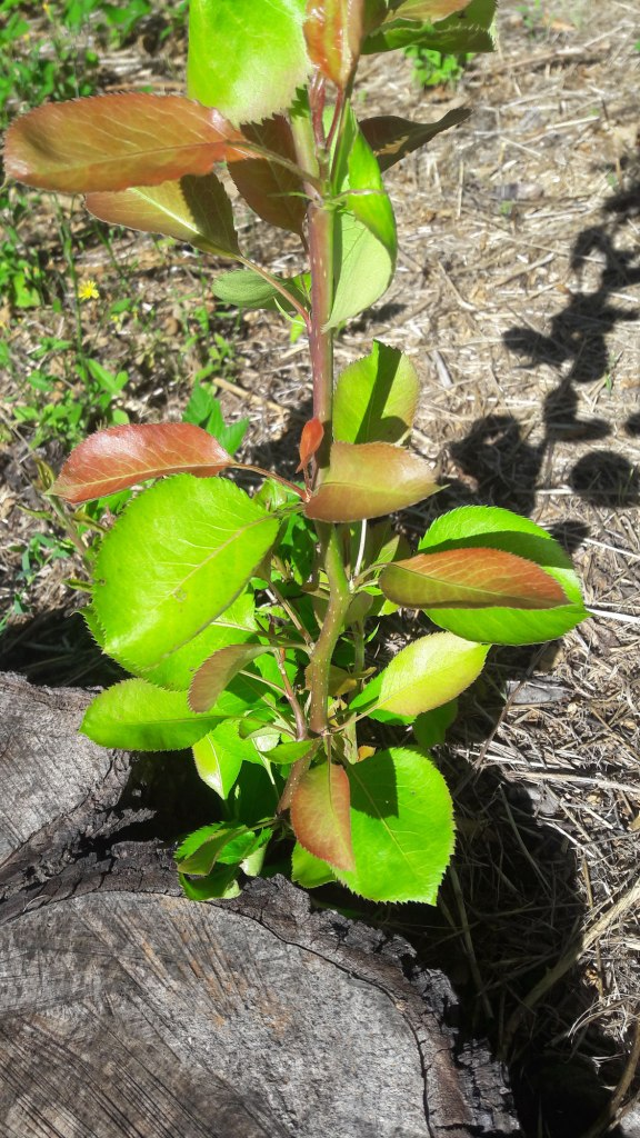 Root offspring - Felled pear tree