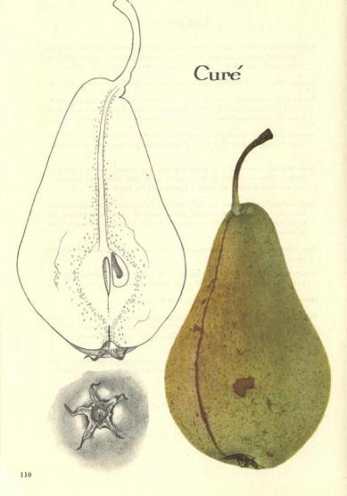 Drawing Curé pear Kessler