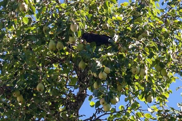 The centenary tree's pears