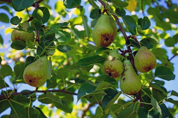 Scab on Curé pears