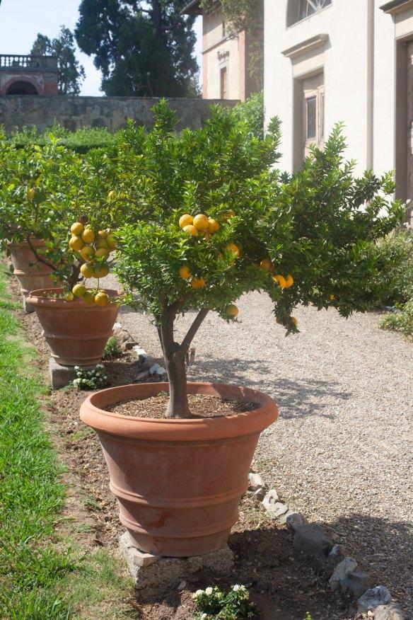 Potted lemon tree - Villa Medici, Italy